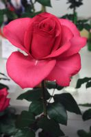 One Pink Rose by Samalander75