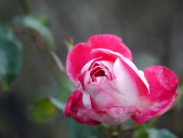Pretty pink rose. by asaluiphotography