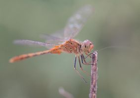Outback Dragonfly by Suzie-N