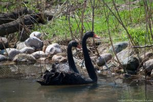 Black Swan : 07 by taeliac-stock