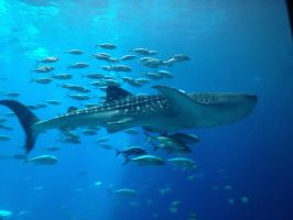 Whale Shark by Qille