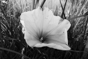 Black and white flower by Anarioxan