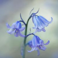 Blue bells by SarahharaS1