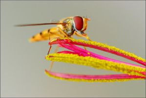 hoverfly2 by sandxr