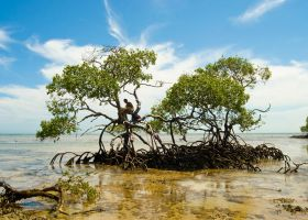 Mangrove Tree by scastor