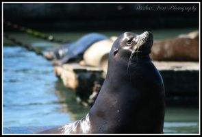 Sea Lion II by DarkestFear