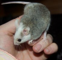 Male African Soft Furred Rat by Phoenix-Cry