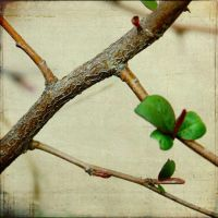 Quince Branch by fotocali