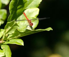 First Dragonfly by sandor99