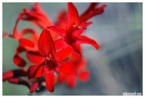 Obscure Nature: Poinsettia by mmmmiko