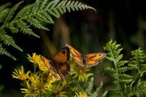 Butterfly 4 by 30-AMP