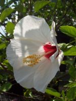 White Hibiscus 01 Stock by SDRandTH-Stock