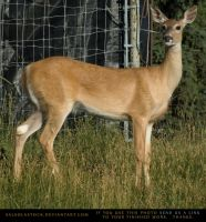 Whitetail Doe 1 by SalsolaStock