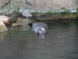 Animals 066 - sleeping seal in water by Dreamcatcher-stock