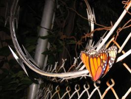 Butterfly on barbed wire by spudart
