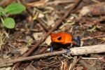 Blue-jeans Poison-dart Frog by Mari-3