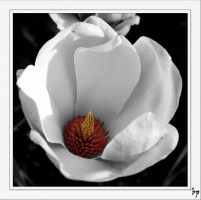 Magnolia the Second by OK-Photography