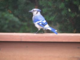 Bluejay IV by LithiumStock
