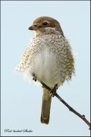 Red-backed Shrike -  female by Jamie-MacArthur