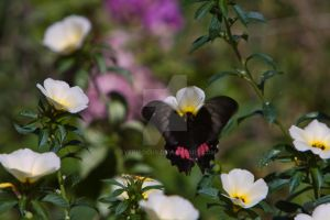 Ruby-Spotted Swallowtail 2 by EyeInFocus
