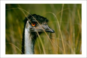 Old Man Emu by Cameron-Jung