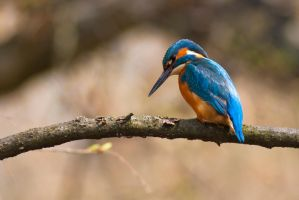Kingfisher by OkiGraphics