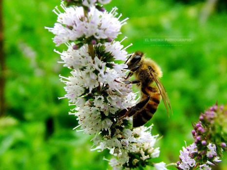 bee on mint by aglash