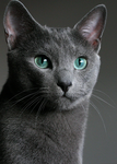 Russian Blue Portrait by Vihola