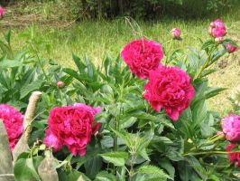peonies by mimustock