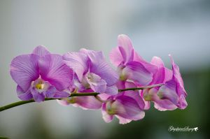 Orchids by gigi50