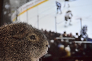 Hockey piggie by Tapire