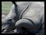Rhino closeup by TVD-Photography
