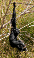 Siamang by Leonca