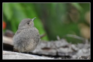Black Redstart (001) by Sikaris