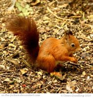 Beautiful Red Squirrel by In-the-picture