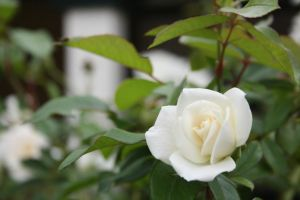White Rose by jukeboxandy