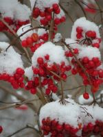 Red Berries :V: by DJCandiDout
