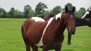 Misty - Bay Tobiano Mare by Horselover60-Stock