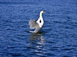 Swan Show 1 by DundeePhotographics