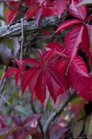 Autumn Colours: Red by kiukkukissa