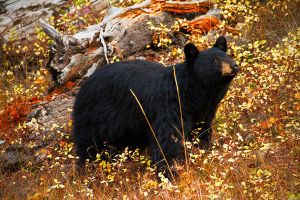 Autumn Black Bear by StevenDavisPhoto