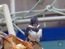 Male Belted Kingfisher On Boat by wolfwings1