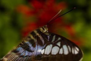 Imported blue clipper butterfly 2 by CyclicalCore