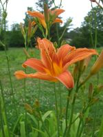 Day Lily 2 by ma8201