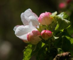 Blooming apple tree by starykocur