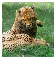 Cheetah: Caught in the act by Dr-Koesters
