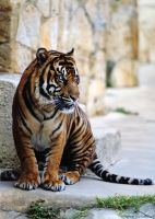 Sumatran Tiger 2 by robbobert