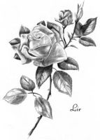 Rose by asterisk2100