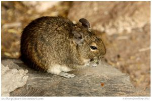 Dining Degu Dude by In-the-picture