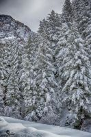 Pines Covered in Snow by mjohanson
